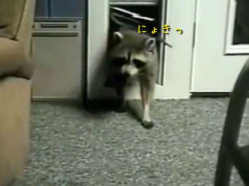 アライグマvs猫