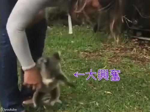 興奮した赤ちゃんコアラ00