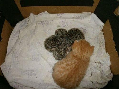 猫とハリネズミの赤ちゃん05