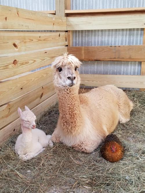 02Baby 赤ちゃん動物たち Alpaca