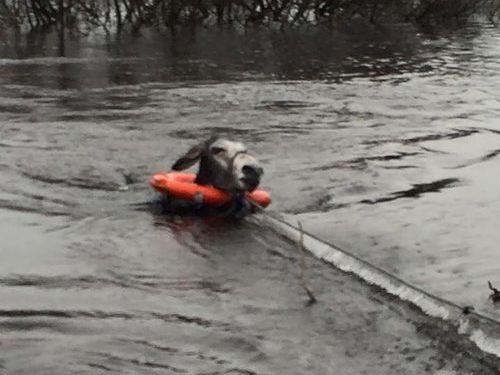 洪水から救出されたロバに笑顔00