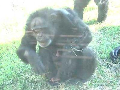 56歳で出産のチンパンジー00