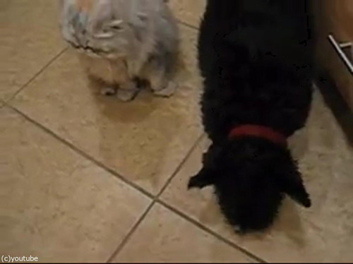 猫が犬のためにエサを取ってあげる04