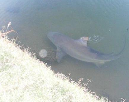 ゴルフ場にサメ04