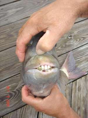 人間のような歯を持つ魚04
