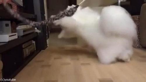 綿毛のような猫06