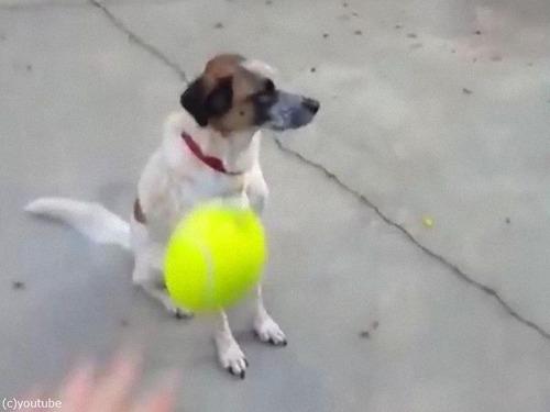 「うちの犬とボール」01