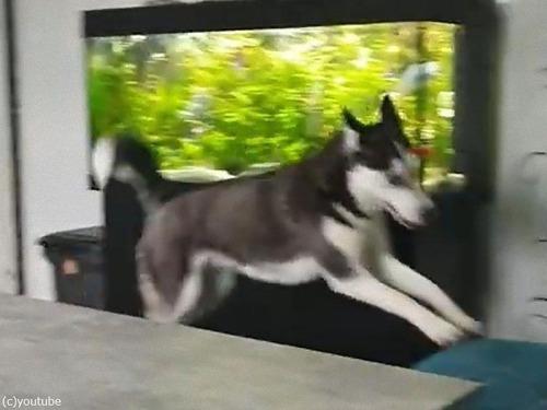 来客を教えてくれるハスキー犬03