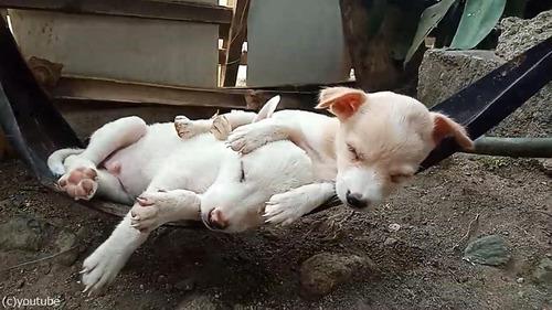 ハンモックで眠る子犬たち04