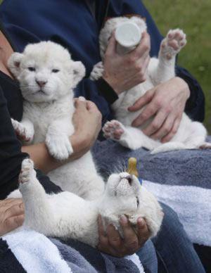 ホワイト・ライオンの赤ちゃんたち05