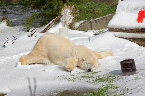 楽しい白クマ18