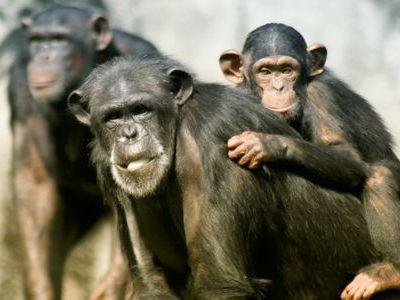 嘆き悲しむチンパンジー00