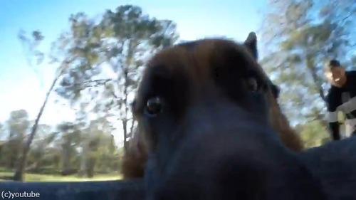 GoProをつかんで離さないシェパードが可愛い01