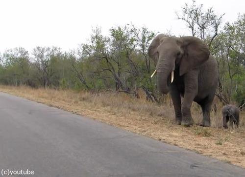 赤ちゃんゾウを守る母親ゾウ01