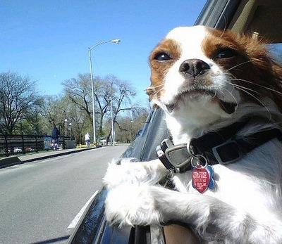 車の風と犬06