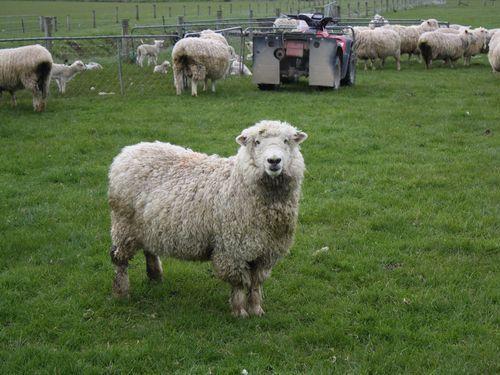 羊をペット00