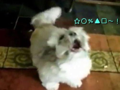 ほえ方がおかしい犬