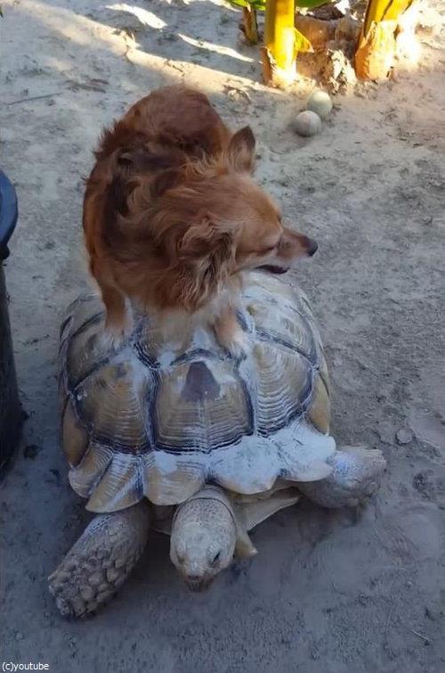 亀に乗る犬01