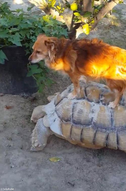亀に乗る犬04