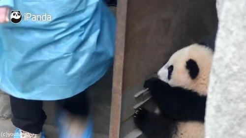 ドアストッパーな赤ちゃんパンダ03