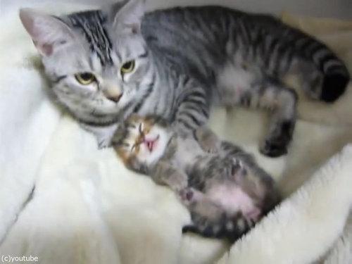 夢見る子猫をぎゅーっと抱きしめるママ猫05
