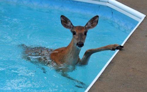 プールに動物03