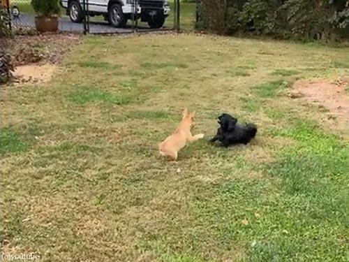 犬の赤ちゃんが追いかけっこの途中でパタリ00