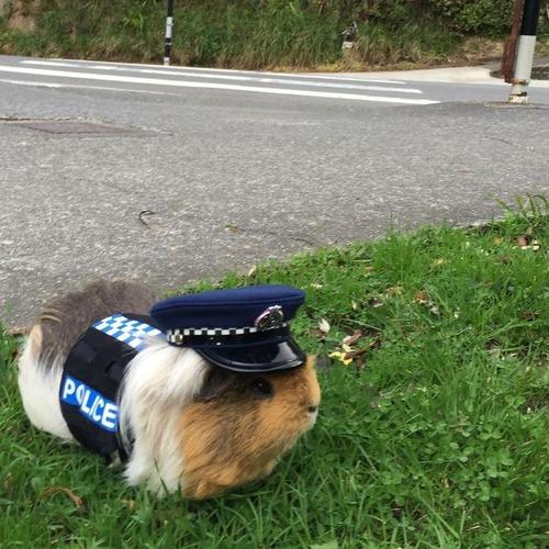 ニュージーランド警察にモルモットポリス01