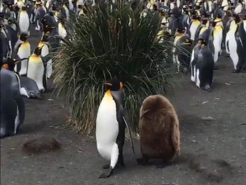 ペンギンの親子00