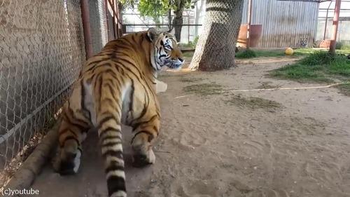 びっくり虎02