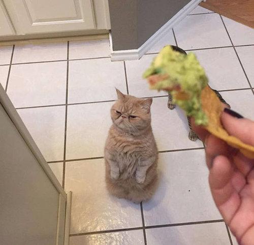 自分を人間だと思ってる猫11