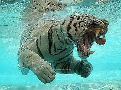 泳ぐ虎09