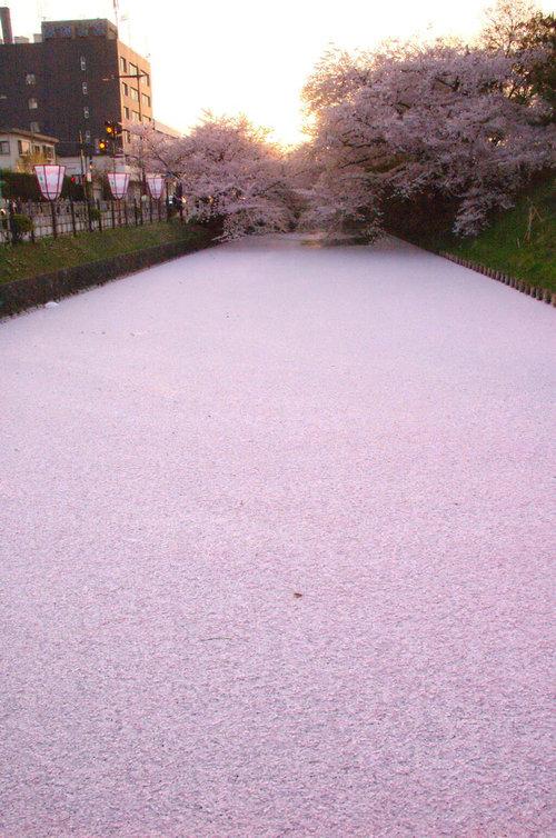 川を埋め尽くす桜の花びら01