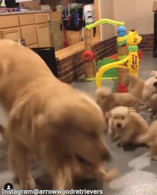 子犬たちのお世話の大変さがよくわかる動画04