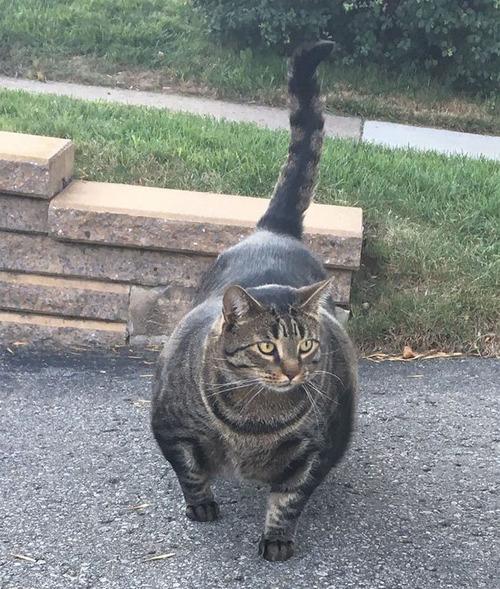 筋肉ムキムキな猫が発見される01