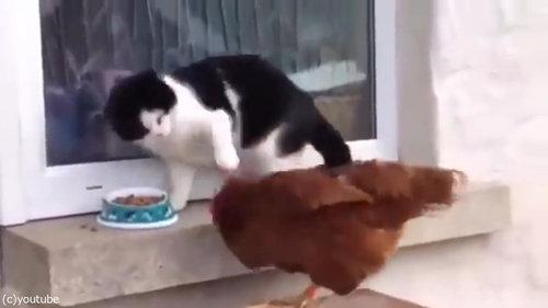 猫とニワトリ03