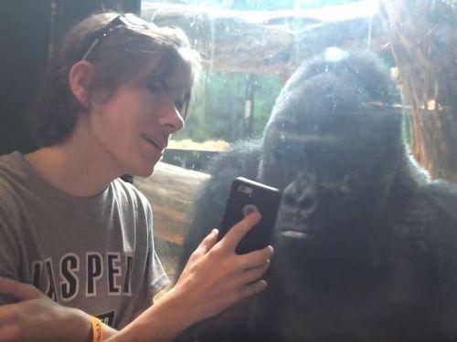 ゴリラにゴリラの写真を見せてみた02