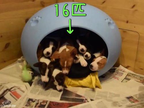 小さなベッドの中に子犬が16匹00