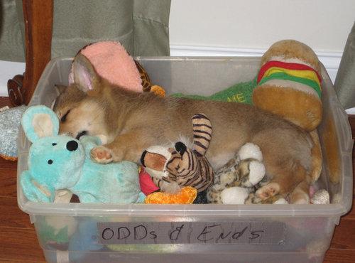 寝てるコーギー犬12