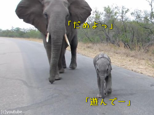 赤ちゃんゾウを守る母親ゾウ00