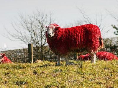 目の覚めるような真っ赤な羊の群れTOP