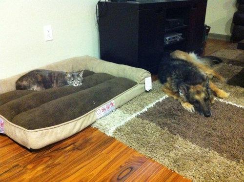 猫にベッドを奪われる犬たち01