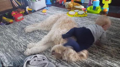 もふもふの犬をベッドにしようとする赤ちゃん05