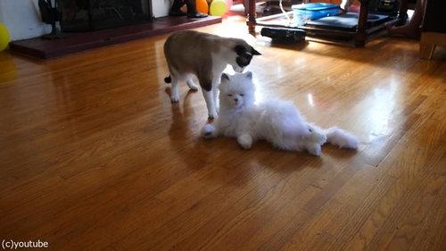 猫型ロボットと初体面した猫たち08