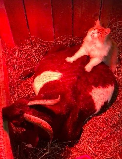 ヤギの助産師をする猫01