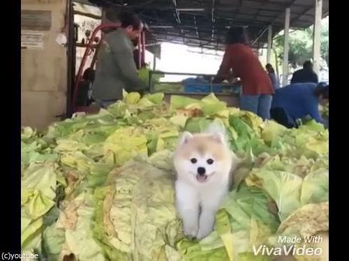 キャベツの山で微笑む犬01