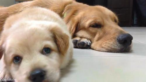 子犬が睡魔と格闘→あっさり負ける04