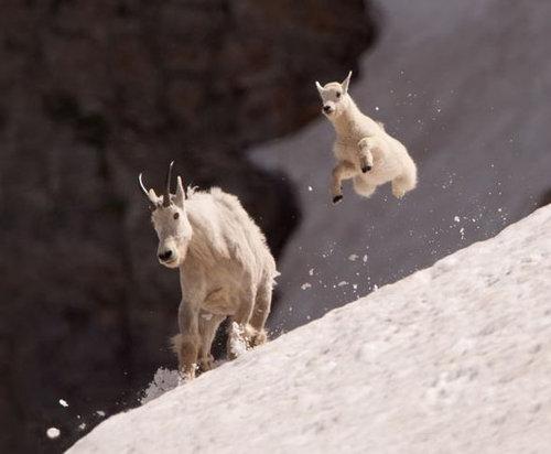 崖の上のヤギ03