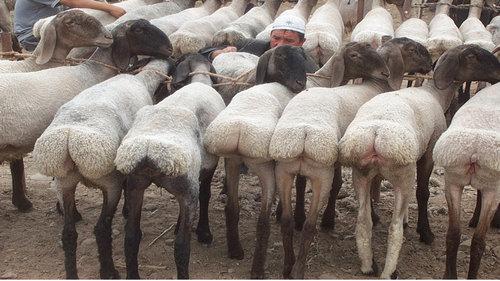 羊飼いの楽しみ05