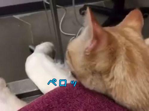 動物病院で他の動物たちを世話する猫00